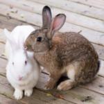 Helen advises if rabbits, guinea pigs & hamsters need companions